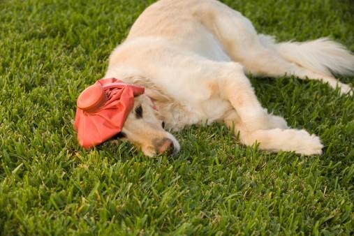 doggie hangover